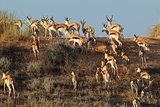 Springbok on sand dune