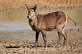 Waterbuck in mud