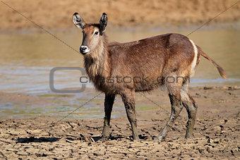 Waterbuck in mud