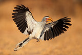 Yellow-billed hornbill landing