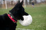 German Shepherd with soccer ball