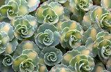 Sedum (siebodlii Mediovariegata)