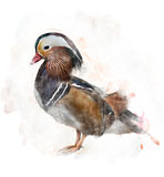Watercolor Image Of A Mandarin Duck