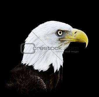 Portrait Of Bald Eagle