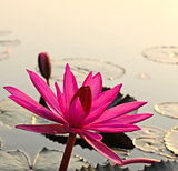 Pink lotus in the morning light
