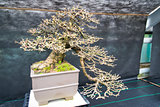 An old bonsai tree