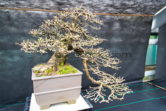 An old bonsai tree