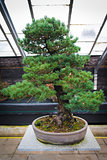 Bonsai tree pinus parviflora - Kokonoe