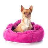 chihuahua in dog bed