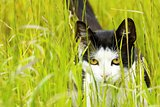 cat creeps in a grass