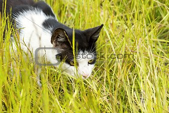 black-and-white cat hunts in grass