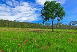 Field of Cercuma alismatifolia Gagnep