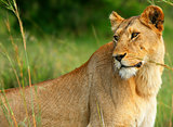 Beautiful wild africam lioness