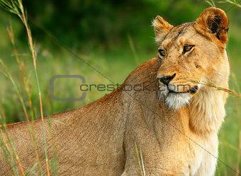 Beautiful wild africam lioness
