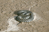 Viper on sand
