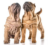 chinese shar pei puppies