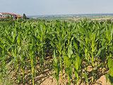 Monferrato corn field