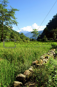 Green rice fields landscape