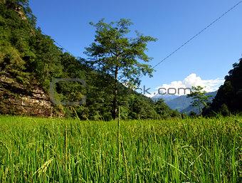 Green rice fields landscape