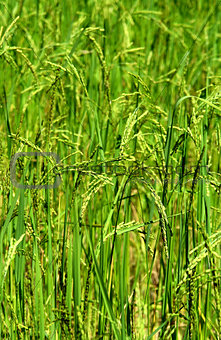 Green rice field texture wallpaper