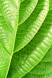 Green plant leave, detail
