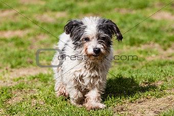 mutt of Maltese dog
