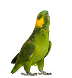 Yellow-naped parrot looking back (6 years old), isolated on whit
