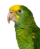 Close-up of a Yellow-headed Amazon (6 months old), isolated on w