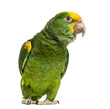 Yellow-headed Amazon (6 months old), isolated on white