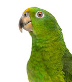 Close-up of a Panama Yellow-headed Amazon (5 months old) isolate