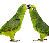 Panama Amazon and Yellow-crowned Amazon pecking, isolated on whi