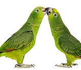 Panama Amazon and Yellow-crowned Amazon pecking, isolated on whi