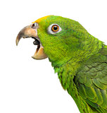 Close-up of a Panama Yellow-headed Amazon (5 months old) with it