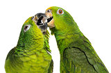 Close-up of a Panama Amazon and Yellow-crowned Amazon pecking, i