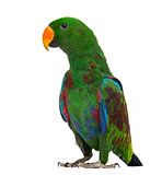 Male Hybrid Eclectus parrot (7 months old) isolated on white