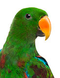 Close-up of a Male Hybrid Eclectus parrot (7 months old) isolate