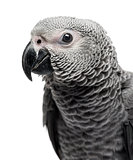 Close-up of a African Grey Parrot (3 months old) isolated on whi