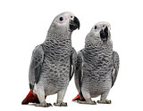 Two African Grey Parrot (3 months old) isolated on white