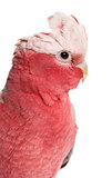 Rose-breasted Cockatoo (2 years old) isolated on white