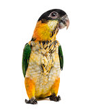 Young Black-capped Parrot (10 weeks old) isolated on white