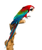 Red-and-green macaw perched on a branch, isolated on white