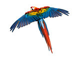Scarlet Macaw flying (4 years old), isolated on white