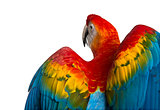 Rear view close-up of a Scarlet Macaw its wings deployed (4 year