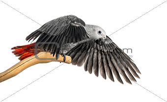 African Grey Parrot (3 months old) perched on a branch and flapp