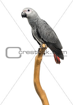 African Grey Parrot (3 months old) perched on a branch, isolated