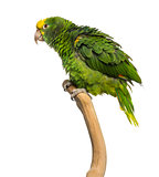 Double Yellow-headed Amazon (6 months old) perched on a branch,