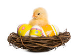 Chick (8 days old) standing in a nest with Easter eggs