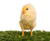 Chick (2 days old) standing in grass