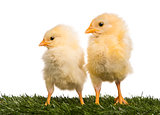 Two Chicks (8 days old) standing in grass