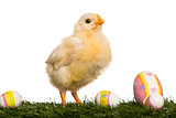 Chick (8 days old) standing in grass with Easter eggs